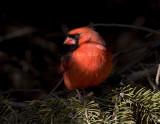 Northern Cardinal _S9S0169.jpg