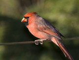 Northern Cardinal _S9S8259.jpg