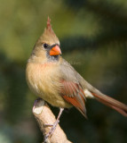 Northern Cardinal _S9S8657.jpg