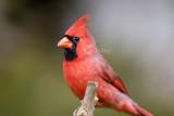 Northern Cardinal _S9S8756.jpg