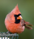 Northern Cardinal _S9S8774.jpg