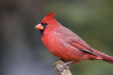 Northern Cardinal _S9S8776.jpg