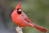 Northern Cardinal _S9S8779.jpg
