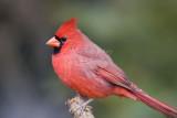 Northern Cardinal _S9S8782.jpg