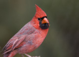 Northern Cardinal _S9S8801.jpg