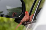 Northern Cardinal attacking reflection _I9I4832.jpg