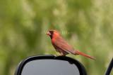 Northern Cardinal attacking reflection _I9I4833.jpg