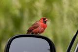Northern Cardinal attacking reflection _I9I4837.jpg