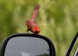 Northern Cardinal attacking reflection _I9I4844.jpg