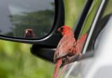 Northern Cardinal attacking reflection _I9I4848.jpg