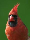 Northern Cardinal face D4EC2642.jpg