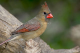 Northern Cardinal female D4EC4867.jpg
