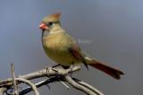 Northern Cardinal female _H9G4107.jpg