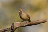 Northern Cardinal female _I9I3998.jpg
