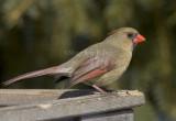 Northern Cardinal female _S9S0096.jpg