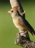 Northern Cardinal female _S9S9670.jpg