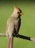 Northern Cardinal female _S9S9673.jpg