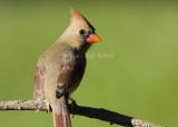 Northern Cardinal female _S9S9682.jpg