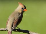 Northern Cardinal female _S9S9686.jpg