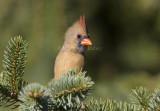Northern Cardinal female _S9S9688.jpg