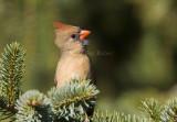 Northern Cardinal female _S9S9692.jpg