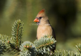 Northern Cardinal female _S9S9694.jpg