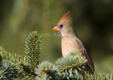 Northern Cardinal female _S9S9701.jpg
