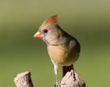 Northern Cardinal female _S9S9712.jpg