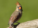 Northern Cardinal female _S9S9722.jpg