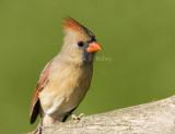 Northern Cardinal female _S9S9725.jpg