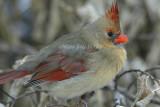 Northern Cardinal female __D4EC6305.jpg