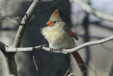 Northern Cardinal female __D4EC6866.jpg