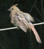 Northern Cardinal juvenile _S9S7461.jpg