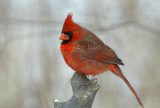 Northern Cardinal male _D4EC6270.jpg