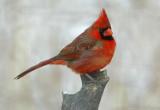 Northern Cardinal male _D4EC6275.jpg