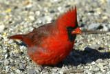 Northern Cardinal male _D4EC6600.jpg
