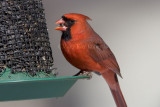 Northern Cardinal male _S9S0081.jpg
