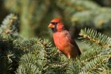 Northern Cardinal male _S9S9705.jpg