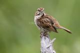 Song Sparrow _7MK5142.jpg