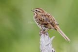 Song Sparrow _7MK5147.jpg