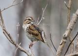 Song Sparrow _7MK6161.jpg