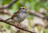 White-throated Sparrow _MKR3140.jpg