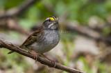 White-throated Sparrow _MKR3148.jpg