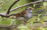 White-throated Sparrow _MKR3157.jpg