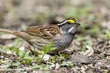 White-throated Sparrow _MKR3277.jpg