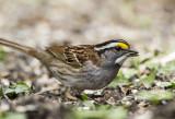 White-throated Sparrow _MKR3288.jpg