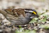 White-throated Sparrow _MKR3290.jpg