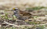 White-throated Sparrow _MKR3312.jpg