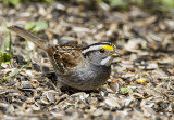 White-throated Sparrow _MKR3323.jpg