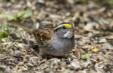 White-throated Sparrow _MKR3325.jpg